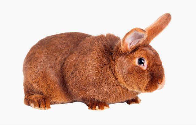 Упитанный красный новозеландский кролик
