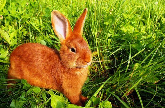 Красный новозеландский кролик на зеленой лужайке