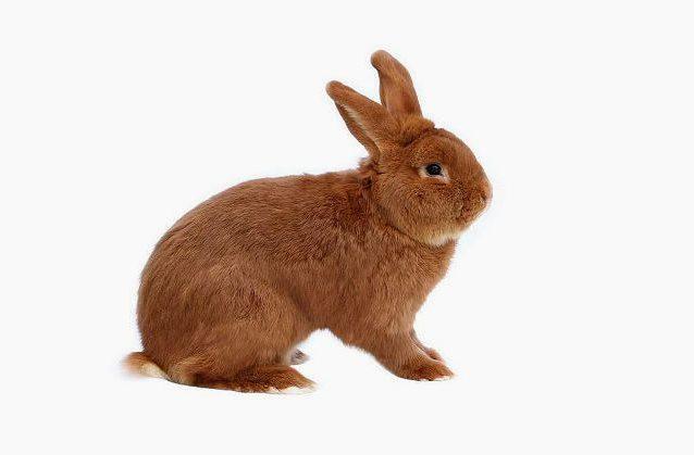 Красный новозеландский кролик - вид сбоку