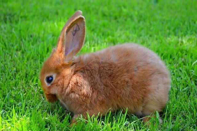 Красный новозеландский кролик - кормление