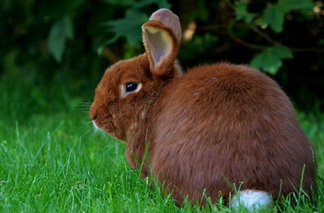 Красный новозеландский кролик - вид сзади