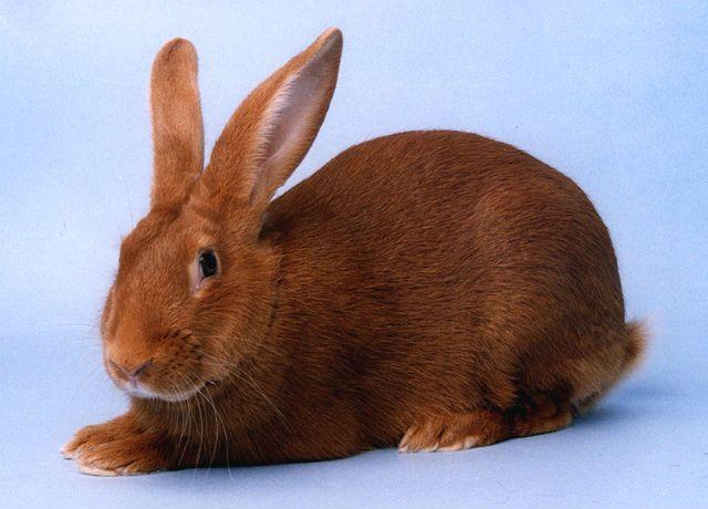 Красный новозеландский кролик - конституция