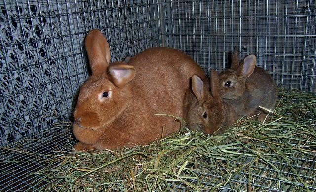 Красный новозеландский кролик - содержание