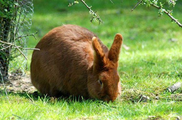 Красный новозеландский кролик есть траву