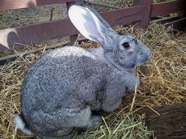 Кролик Советская шиншилла - кормление