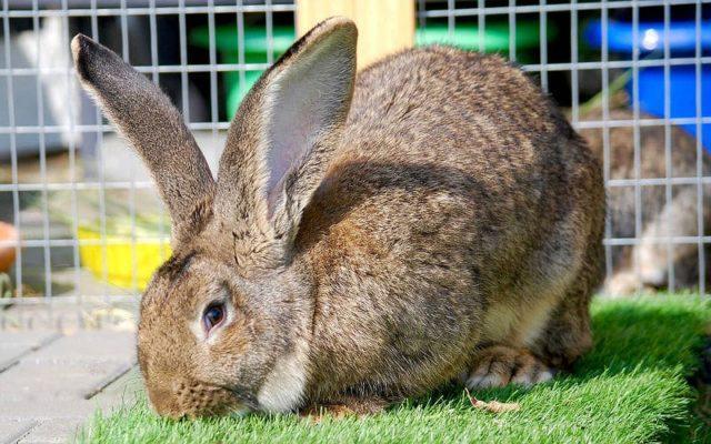 Кролик фландр - главное фото