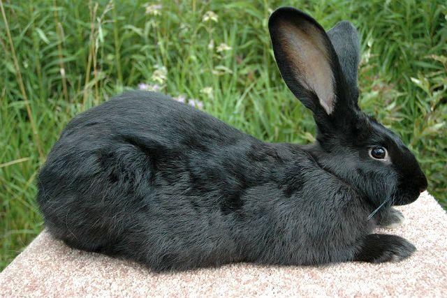 Кролик фландр - черный