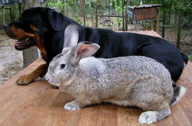 Серый кролик фландр