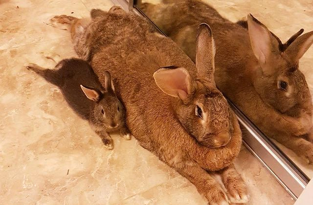 Кролик фландр в домашних условиях