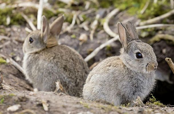 Крольчата фландр