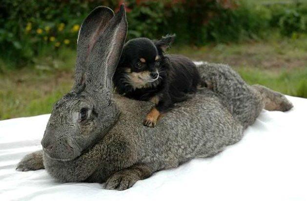 Кролик фландр с собачкой