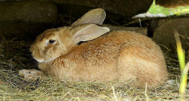 Кролик фландр на сене