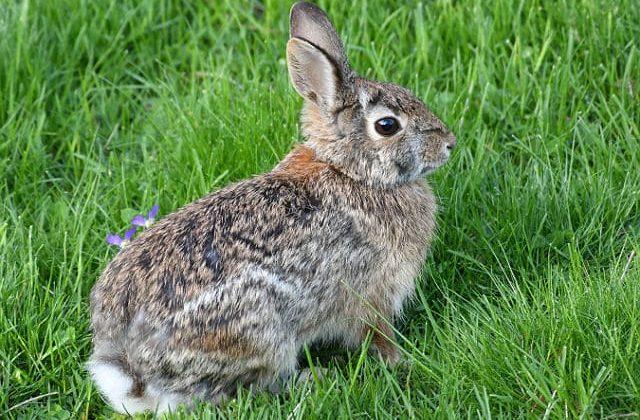 Крольчонок фландр на лужайке