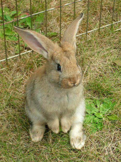 Кролик фландр в вольере