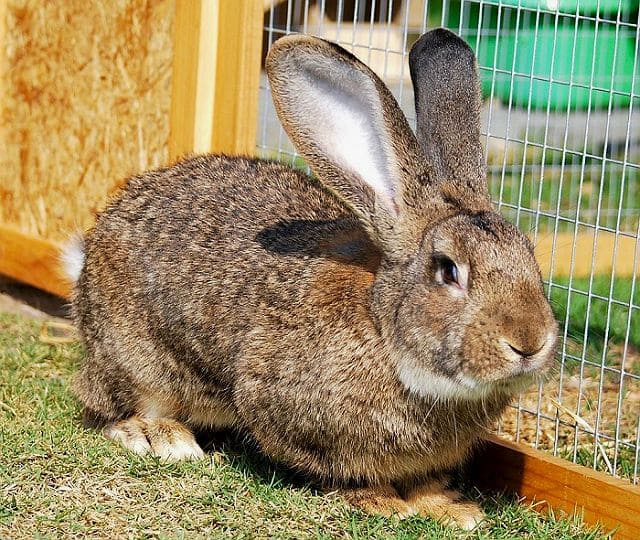 Кролик фландр - здоровье