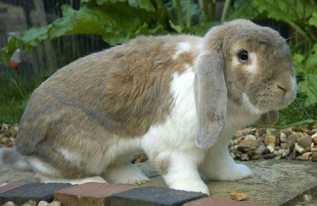 Кролик французский баран
