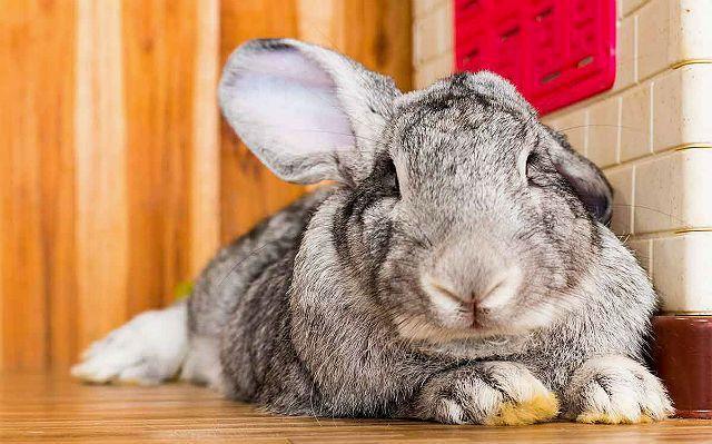 Кролик континентальный гигант