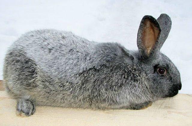 Кролик серебро (полтавский)