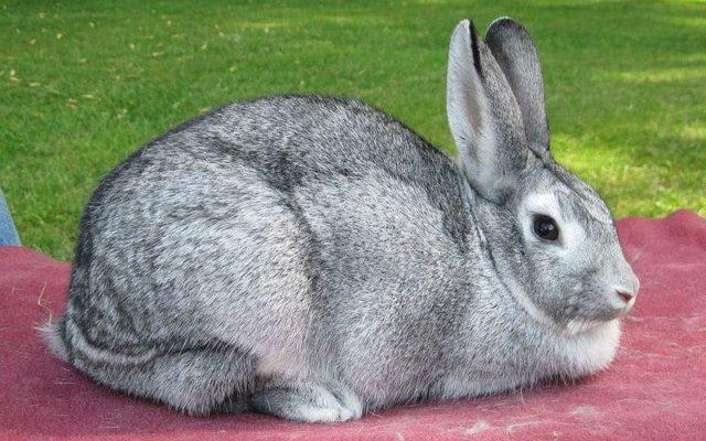 Кролик серый великан - главное фото