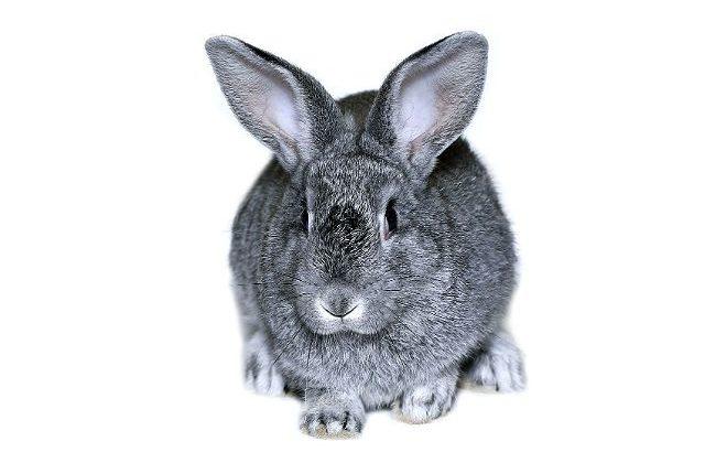 Кролик серый великан - вид спереди