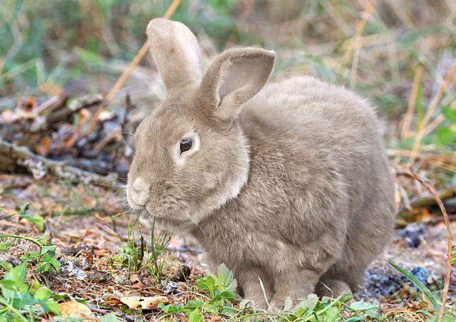 Кролик серый великан - окрасы