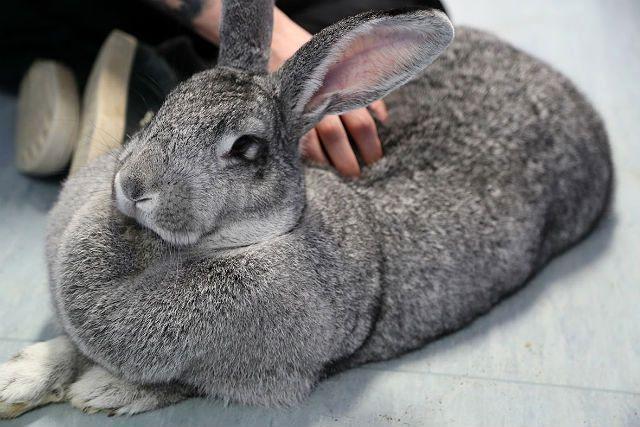 Кролик серый великан лежит