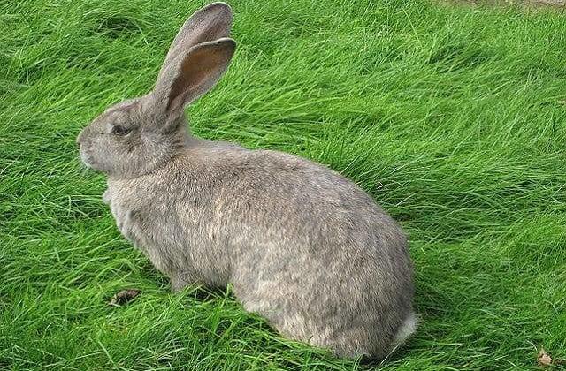 Кролик серый великан на лужайке
