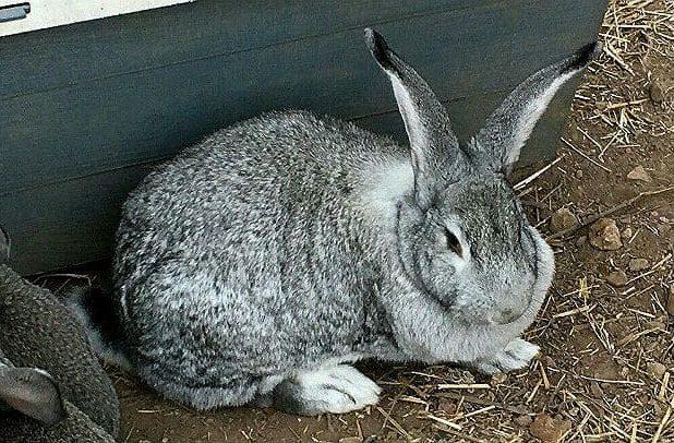 Кролик породы серый великан