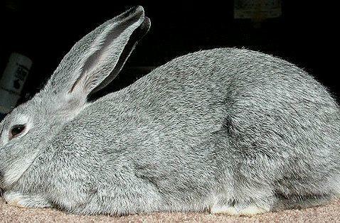 Кролик серый великан - вид сбоку