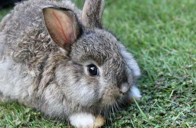Серый великан - крольчонок на траве