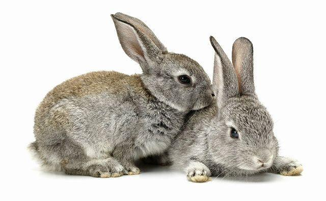 Крольчата породы серый веикан