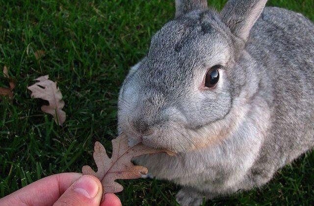 Крольчонок серый великан