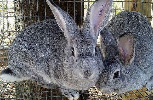 Серые великаны - кролики