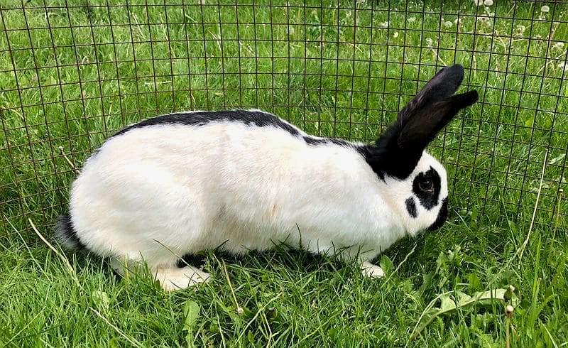 Кролик строкач - главное фото