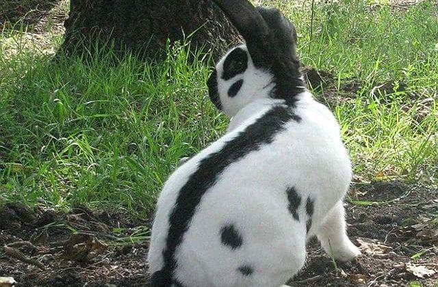 Кролик строкач - вид сзади