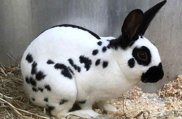 Маленький кролик строкач