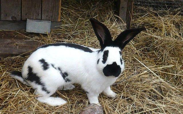 Кролик строкач - содержание