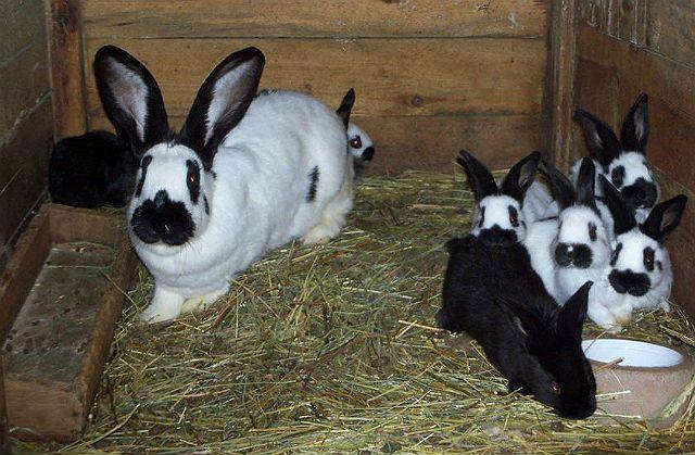 Кролик строкач - разведение