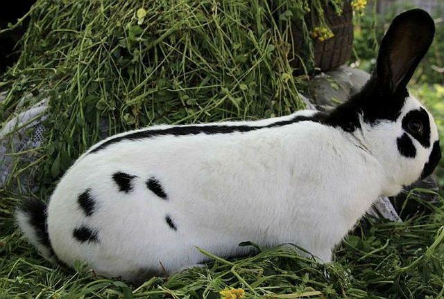 Кролик строкач - вид сбоку