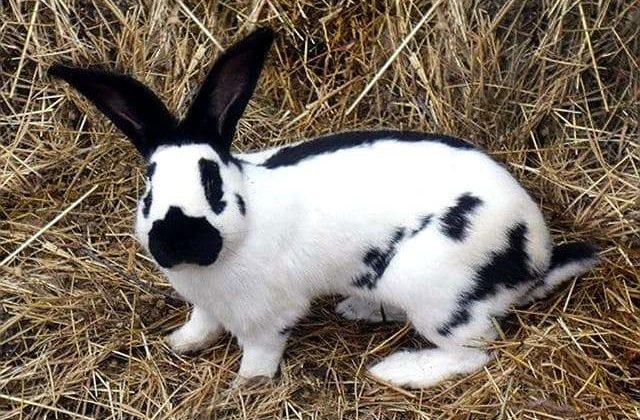 Кролик немецкой породы строкач