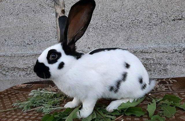 Кролик строкач - немецкая бабочка
