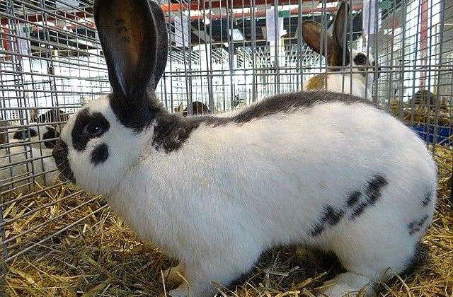 Кролик строкач в загоне