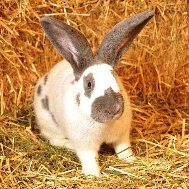 Кролик строкач - окрасы