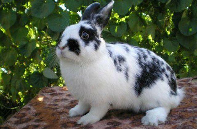 Крольчонок строкач