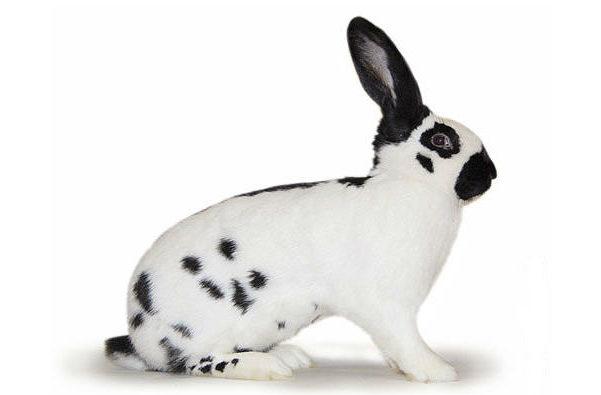 Кролик строкач черно-белый