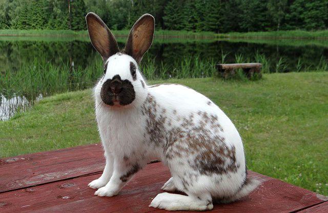 Кролик строкач - как выбрать