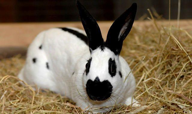 Кролик строкач - мордочка
