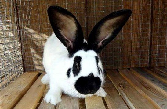 Кролик строкач - вид спереди