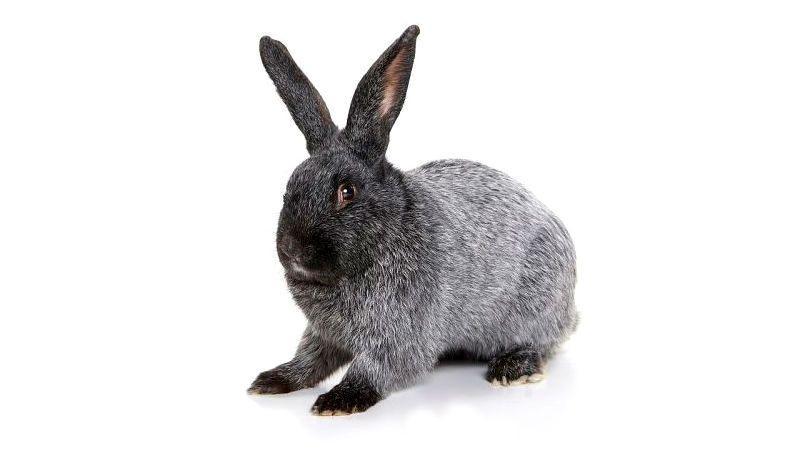 Кролики полтавское серебро - главное фото