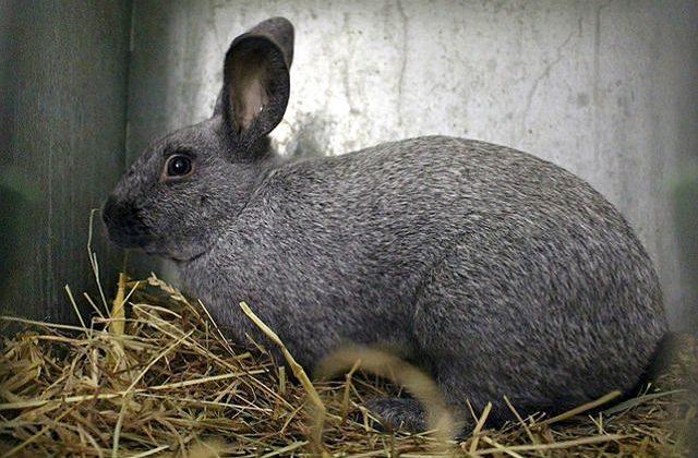 Кролики полтавское серебро лежит